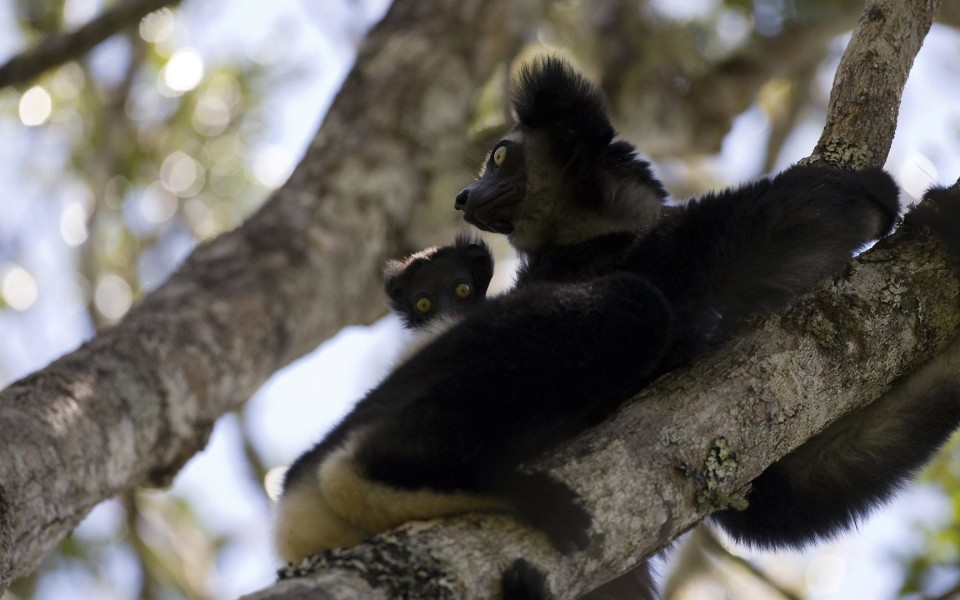 lemur-saha-forest-camp